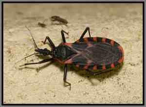 Knoxville Pest Control, Kissing bug, Daniel D. Dye II