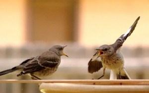 800px-Mocking_Bird_Argument