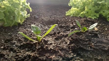 spinach 3.29