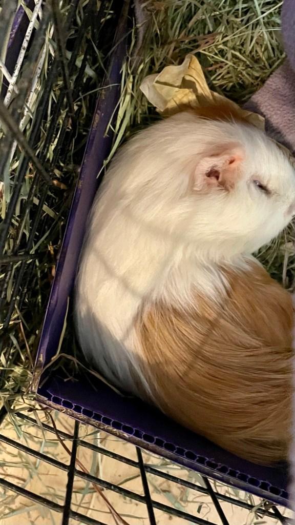 A photo of a sleeping guinea pig