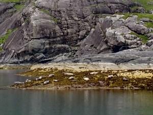 Seals & their pups