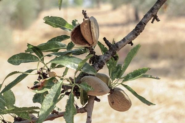 Alexandra Mitsiou, phoode, almond blossom, almond fruit, almond prep, almond harvesting, almond tree, almond photography, almond texture, almond taste, almond shape, almond leaves, almond ripening, almond ripened, almond in brown bag, almond growing, almond grove, greek almonds, almond recipe, almond dish, food blogger, almond story, almond in the kitchen, culinary properties of almond, almond farm, almond orchard, cosmetic properties of almond