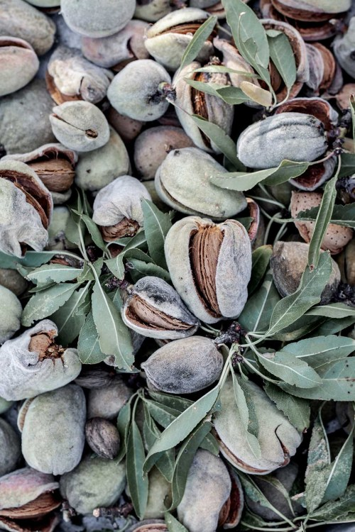 Alexandra Mitsiou, phoode, almond blossom, almond fruit, almond prep, almond harvesting, almond tree, almond photography, almond texture, almond taste, almond shape, almond leaves, almond ripening, almond ripened, almond growing, almond grove, greek almonds, almond recipe, almond dish, food blogger, almond story, almond in the kitchen, culinary properties of almond, almond farm, almond orchard, cosmetic properties of almond