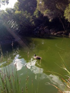 One of my duck 'pursuit' and managed to capture it in a photo!