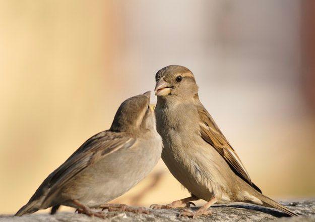 Ciri – Ciri Burung Beo Nias