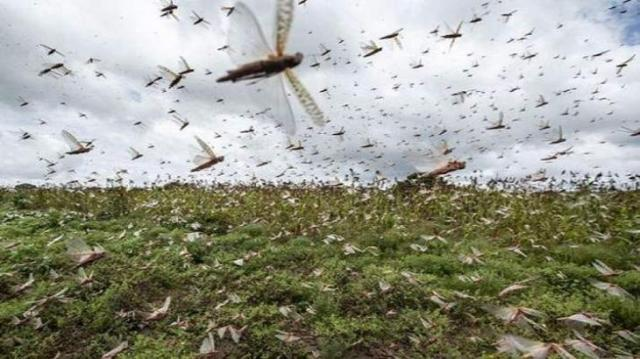 12 combat teams, 714 surveillance teams working against locust attack