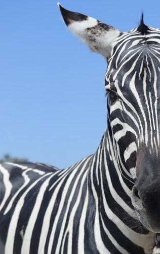 tuto photo zèbre animaux safari