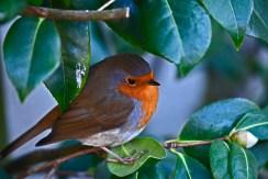Oiseaux du jardin 12-2018 007