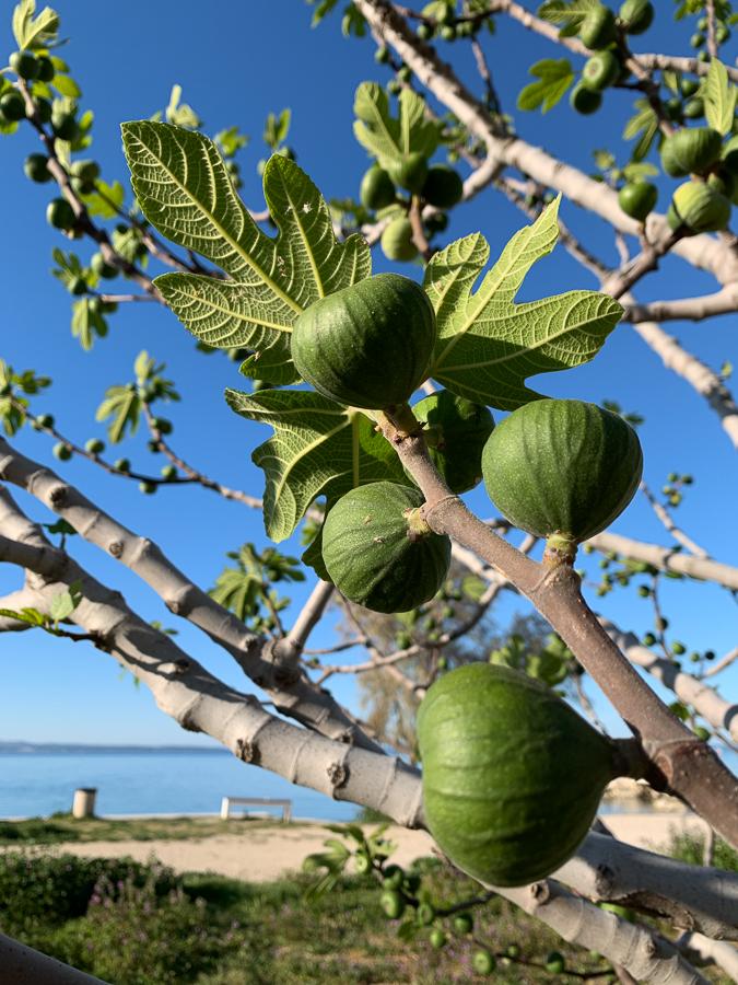Fig Tree, Znjan Beach, Split, Croatia ©2020, Cyndie Burkhardt.