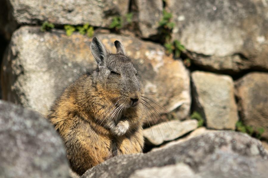 Rabbit, Machu Picchu, Peru ©2019, Cyndie Burkhardt.