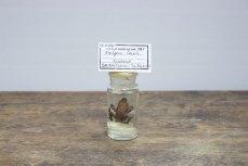 Арлекін темний Atelopus ignescens (Cornalia, 1849)