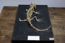 Скелет гатерії, або туатари Sphenodon punctatus (Gray, 1842)