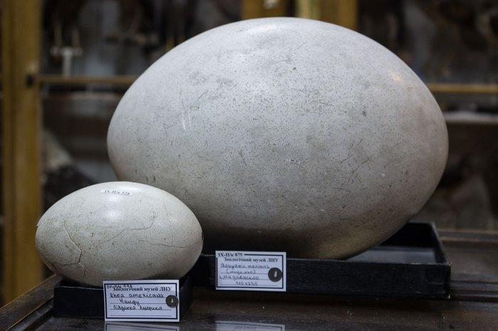 Точна копія яйця епіорніса (Aepyornis)