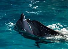 """Чорноморські дельфіни комплексу """"Оскар"""" . Фото: Ксенія Янко"""