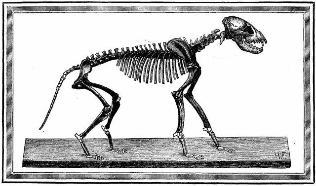 Скелет печерної гієни