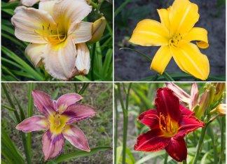 Магія цвітіння лілійника, або квітка лінивого інтелігента