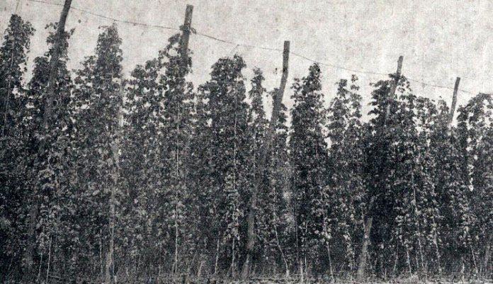 Плантація хмелю в с. Збитин, Дубенщина, 1920-ті роки