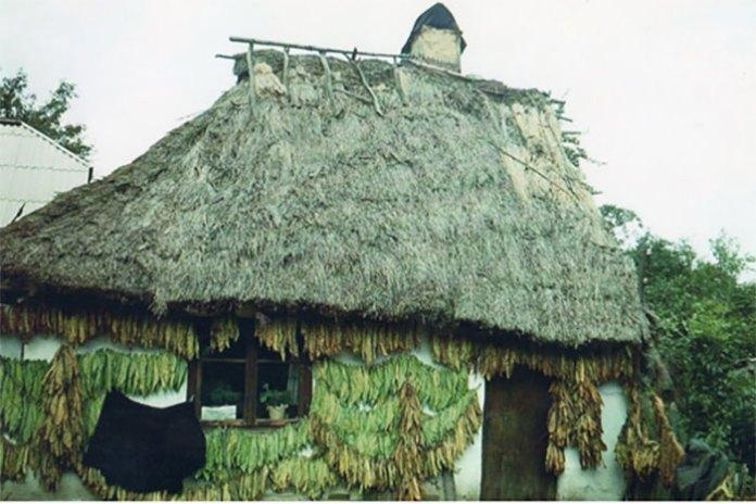 Сушать бакун. Тернопільщина, Борщівський район, 1970-і роки. Світлив Олександр Кіцера