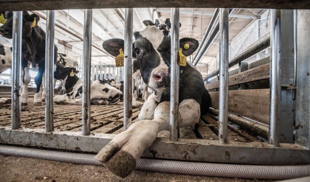Calves in quarantine. Israel, 2018.
