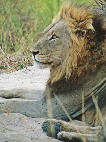 Lion-Ulusaba-IMAGE