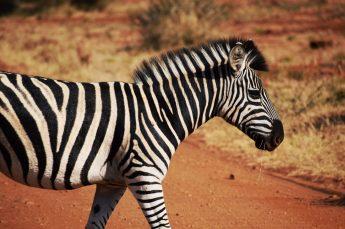 Zebra-Madikwe Game Reserve (1)