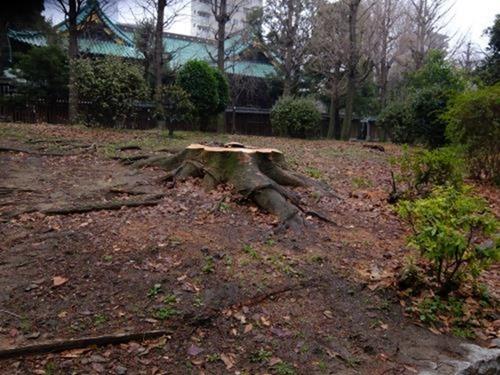 けやき伐採