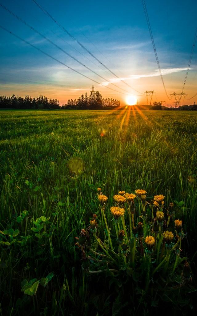 Coucher de soleil avec lignes électriques à haute tension qui traversent le paysage, Pissenlits en avant-plan