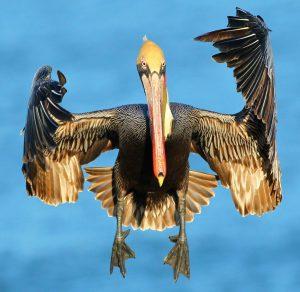 Cirone Pelican - Avian and Macro Photography