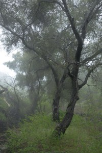 AS SHOT: Coast Live Oak, Morning Fog