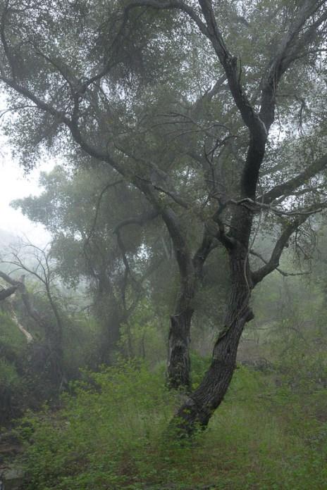 AS SHOT: Coast Live Oak, Morning Fog