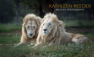 Male White Lions at Ukutula Lion Centre, South Africa