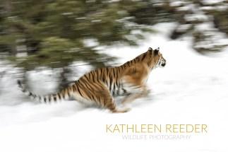 2015-01-14 Siberian Tiger 0751web
