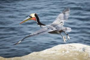 Pelican taking off, by Dan Bucko