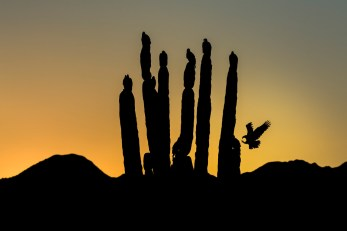 Turkey Vulture Silhouettes