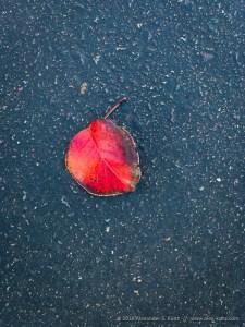Red Leaf on Asphalt by Alexander S. Kunz