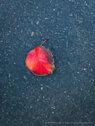 Red Leaf on Asphalt by Alexander S. Kunz