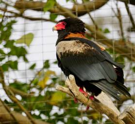 Dale Thompson - Bateleur Eagle
