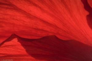 Shuwen Wu - Red-Hibiscus