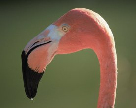 Barbara Whitman - Zoo Flamingo