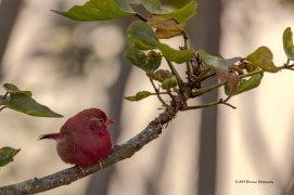Rick Barr - Red Bird