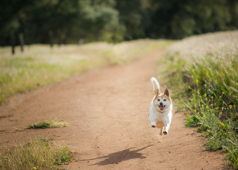 Dog running on trail, photo by and (C) Shuwen Lisa Wu