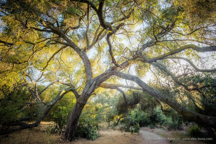 Majestic Coast Live Oak (Quercus agrifolia) bending over a trail at Los Penasquitos Canyon Preserve, San Diego, California, June 2012.