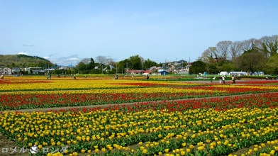 Tulips 008