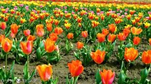Tulips 023