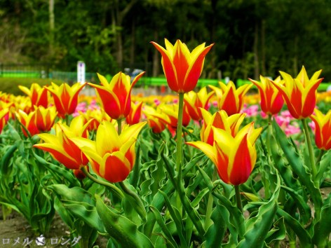 Tulips 027