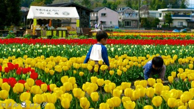 Tulips 037