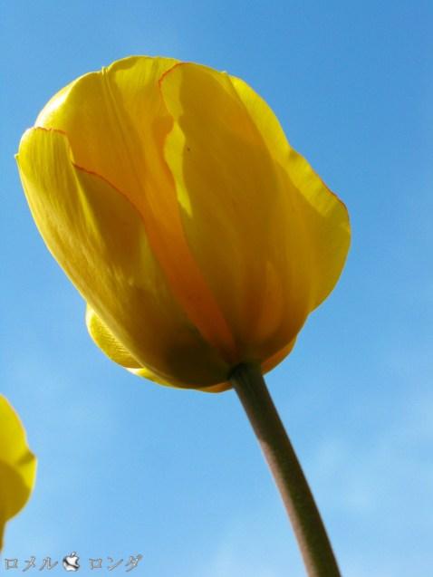 Tulips 040