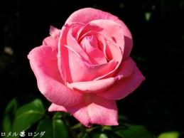 Rose 012