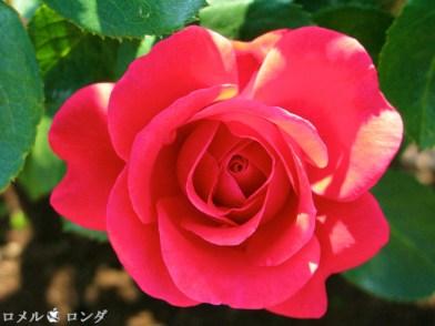Rose 025