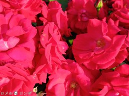 Rose 032